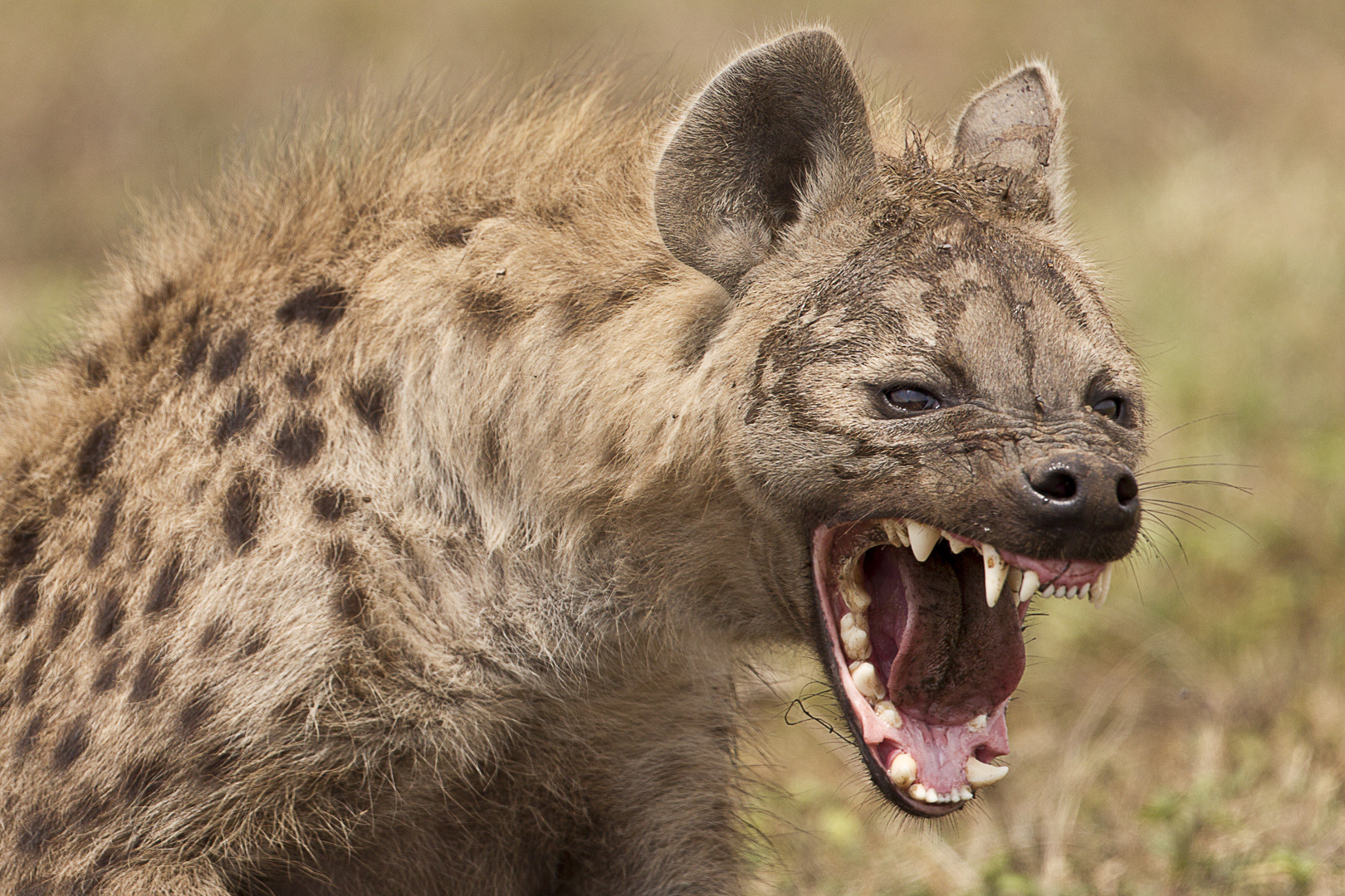 Don't Hang with the Hyenas | Tom Hackelman